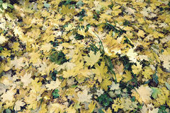 Beaucoup feuilles jaunes tombées d'érable Effet de vintage Photographie stock
