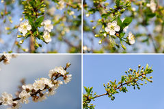 Beaucoup fleur blanche de ressort. Milieux de nature Image libre de droits