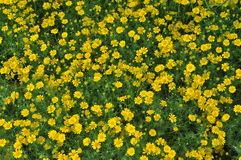 Beaucoup fleur jaune Photo stock
