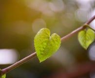 Beaucoup forme de feuille verte de coeur sur le fond de nature Photographie stock libre de droits