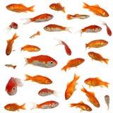 Beaucoup goldfish Image libre de droits