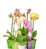 Beaucoup l'orchidée colorée de branche fleurit avec les bourgeons, feuilles de vert, dans des vases colorés vibrants, des pots de Photos stock