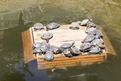 Beaucoup la tortue de mer sans coquille se dore au soleil Photographie stock