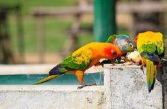 Beaucoup le perroquet coloré ont plaisir à manger de la nourriture photos stock