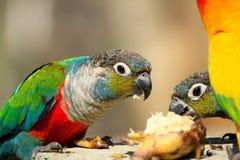 Beaucoup le perroquet coloré ont plaisir la consommation photo stock