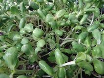 Beaucoup le tournesol vert frais pousse l'élevage dans le panier Image stock