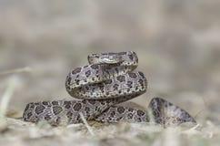 Beaucoup ont repéré le serpent de chat (le multomaculata de Boiga) photo libre de droits