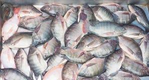 Beaucoup poisson frais de tilapia du Nil ou niloticus d'Oreochromis en vente dans cadre de collecte d'acier inoxydable le plein images libres de droits