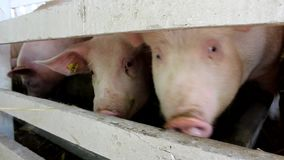 Beaucoup porc blanc regardant au-dessus de la barrière ce qu'ils mangent banque de vidéos