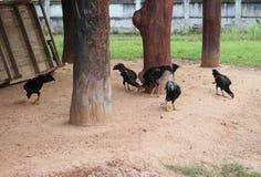 Beaucoup poulet forageant à l'aube Image stock