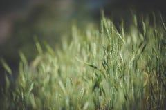 Beaucoup riz dans le jardin Image libre de droits