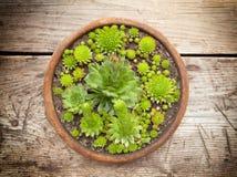 Beaucoup Sempervivums dans le pot image stock