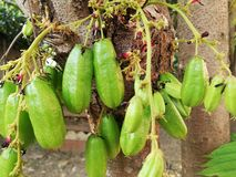 Beaucoup taille de bilimbi d'Averrhoa sur le fond d'arbre avec la fleur photographie stock