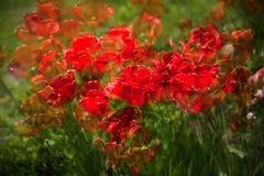 Beaucoup tulipe rouge, double exposition Image libre de droits
