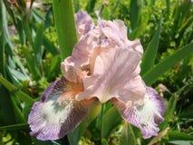 Iris flower stock images