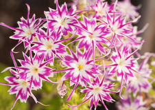 Beaufiful pink and white star Phlox Stock Images