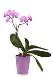 Beaufitul pink orchid Royalty Free Stock Photo