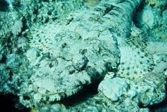 Beauforti de Cymbacephalus de poissons de crocodile en Mer Rouge Image libre de droits
