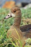 Beauftiful野鸭在开普敦 库存图片