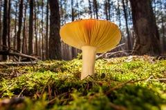 Beauftiful mushroom in a forrest Stock Photos