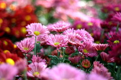 Beauiful pink flower Royalty Free Stock Images