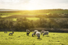 Beauitful landscape image of newborn Spring lambs and sheep in f Stock Image