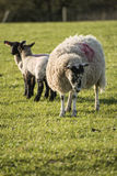 Beauitful landscape image of newborn Spring lambs and sheep in f Royalty Free Stock Photo