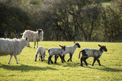 Beauitful landscape image of newborn Spring lambs and sheep in f Royalty Free Stock Photos