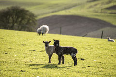 Beauitful landscape image of newborn Spring lambs and sheep in f Royalty Free Stock Photography