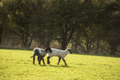Beauitful landscape image of newborn Spring lambs and sheep in f Stock Images