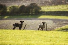 Beauitful landskapbild av nyfödda vårlamm och får i f Arkivfoton