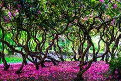 Beauitfully生动的樱花在伯明翰 库存图片