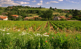 Beaujolais vineyard Stock Photos