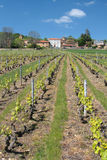 Beaujolais vineyard Royalty Free Stock Images