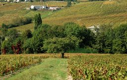 Beaujolaisweinberg, Frankreich Lizenzfreies Stockbild