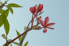 The beaultiful plumeria, pink flower Stock Photography