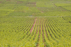 Beaune vignes Stock Photo