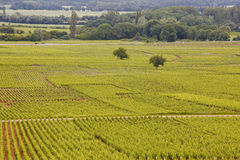 Beaune vines Royalty Free Stock Photos