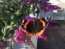 Beauté étonnante de natures de papillon Photographie stock libre de droits