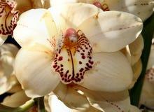 Beauté 4 d'orchidées photo libre de droits