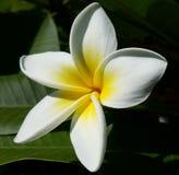Beauté blanche et jaune images libres de droits