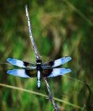 Beauté bleue Images stock