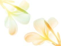 Beauté colorée des fleurs de Frangipani ou de Plumeria Photos libres de droits