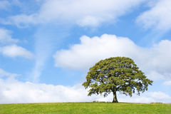 Beauté d'arbre de chêne Photos libres de droits