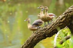 Beauté de canard Photo libre de droits