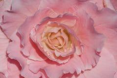 Beauté de fleur de bégonia Photographie stock libre de droits