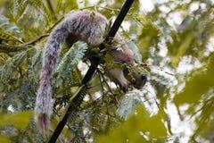 Beauté de l'écureuil géant image stock