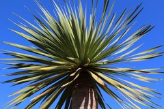 Beauté de la symétrie parfaite du draco canarien de Dracaena de cime d'arbre de dragon contre le ciel bleu photo libre de droits