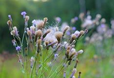 Beauté de nature de chardon de fleur Image stock