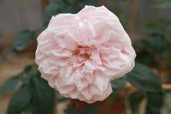 Beauté de Rose dans le jardin vert ! photos libres de droits